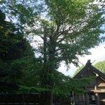 拝殿の隣に大きな木があります。 複雑に絡み合った根が地上に出ていて、見入ってしまいました。