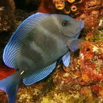 Blue Tang @ night