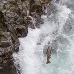 Tall waterfalls that the salmon have to climb