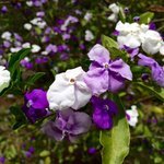 This only flowers in September. They start of dark purple through to white when they die!