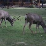 Deer grazing in the common area