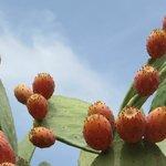 cactusfruit!