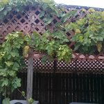 Grapevines draping the outside patio rooftop.