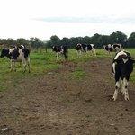Nice bull calfs