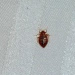 One of the Bed Bugs