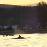 orca passing campbell river (and Driftwood by the Sea)
