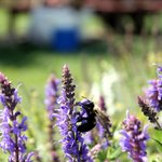 Bees enjoy the lavender