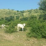 Cattles we saw while trekking