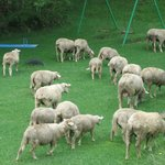 The sheep / goats grazing freely all over the resort