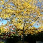 Arbre couleur automne a cote de la piscine de MSS