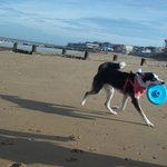 Our clean, well behaved dog enjoying the beach (where they are allowed)