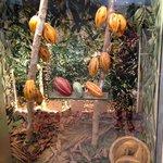 Как растут какао-бобы