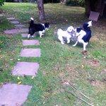 My dog playing with two of Micki & Ian's border collies
