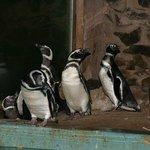 pinguinário