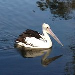 Fishing Pelican