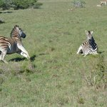 So many zebra