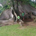 largest tree on the island