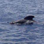 Short finned whales :)
