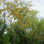 Flowering kowhai on Tiri Matangi