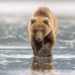 Bear clamming at low tide