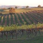 Vine rows at Delatite Winery