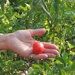 une des première tomate cerise