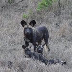 Wild dog puppies