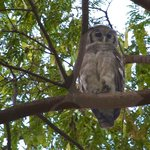 Verreaux's Eagle-Owl resides at Rivertrees Country Inn
