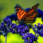 A Monarch on his migration pauses to feed
