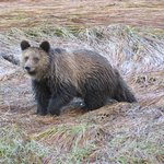 Grizzly in September