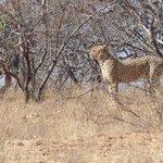 Cheetah at Naledi