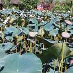 The Lotus pond inside the property