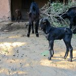 goats in a small village on the trek