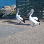 Pelicans waiting for fish