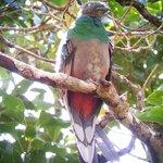 Female Quetzal