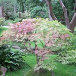 Acer coming into autumn foliage