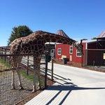 Giraffe standing next to the sidewalk waiting for feeding time.