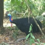Frieda the local Cassowary