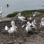 Pelicans gathering for a feed