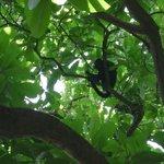 Singe hurleur noir, Curu, Costa Rica