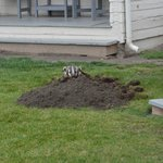 Other guest - Badger adding to front lawn of cabin