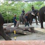 Adult Elephants on the move