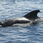 Globicefalo (Pilot Whale)