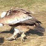 Aldo le vautour chauve (Spectacle des oiseaux)
