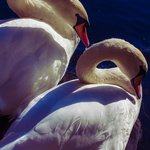 two swans in the pond