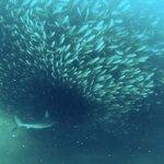 shark entering cloud of salema