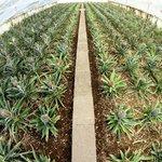 Planet Pineapple