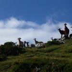 Cabras en Somiedo