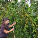 Karen showing us how they pick the cherries at the top of the branch