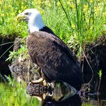 Bald Eagle seen from the canoe trail